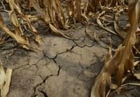 Более 40% урожая потеряны